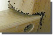 les punaises de lits comment les reconnaitre sa reproduction sa nouriture ses symptomes. Black Bedroom Furniture Sets. Home Design Ideas